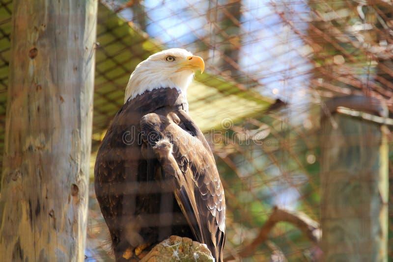 Skalliga Eagle Day royaltyfria bilder