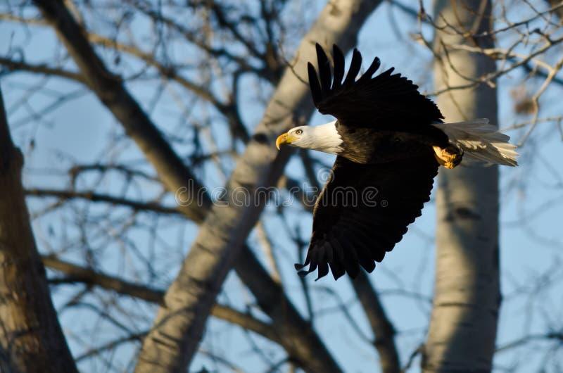 Skalliga Eagle Flying Past vinterträden arkivfoton