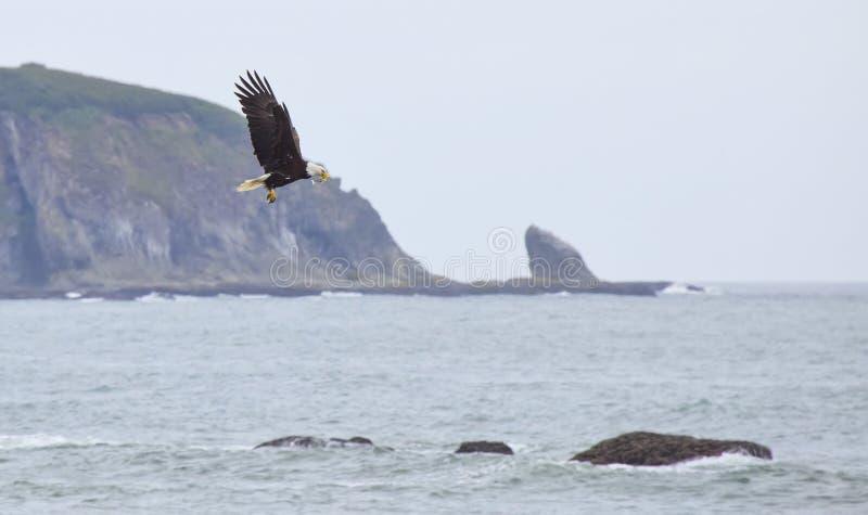 Skalliga Eagle (Haliaeetusleucocephalus) som fångar fisken royaltyfria bilder