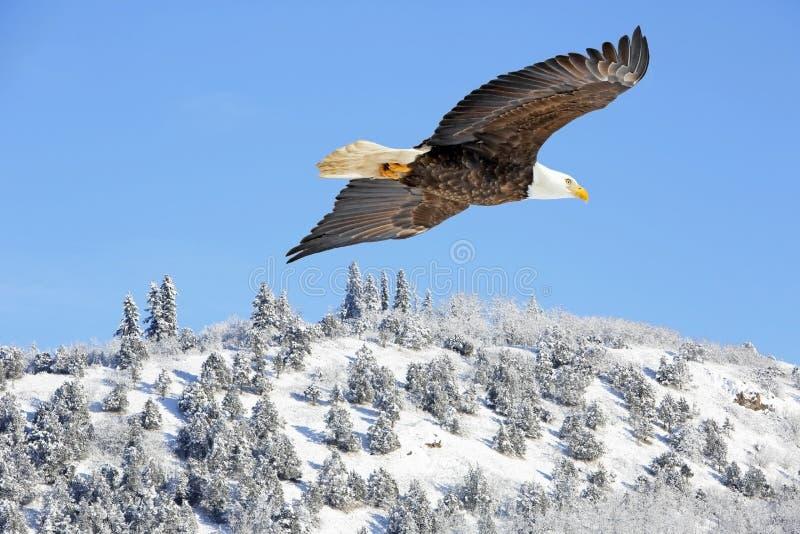 Skalliga Eagle i flykten i blå himmel över spektakulärt vinterlandskap royaltyfria bilder