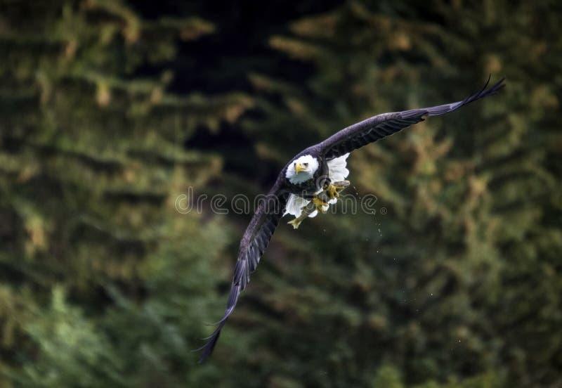 Skalliga Eagle med fisken i Alaska royaltyfri fotografi