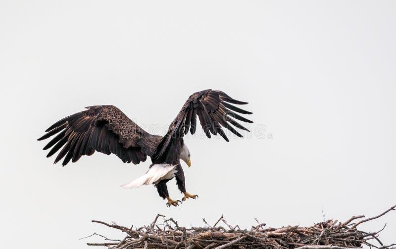 Skalliga Eagle Nesting Platform fotografering för bildbyråer