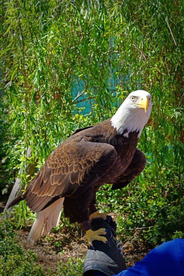 Skalliga Eagle på en zoo royaltyfri foto