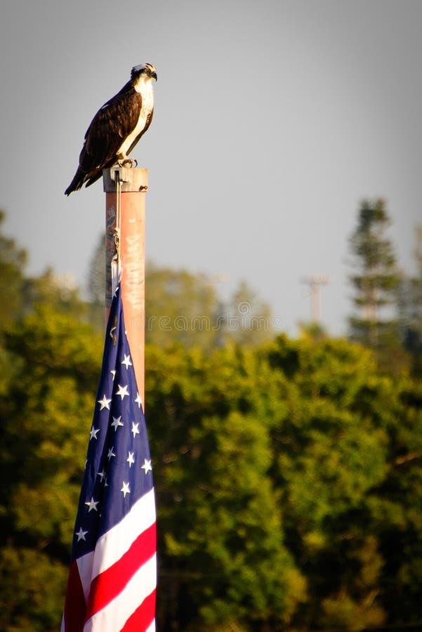 Skalliga Eagle på flaggapol royaltyfri foto