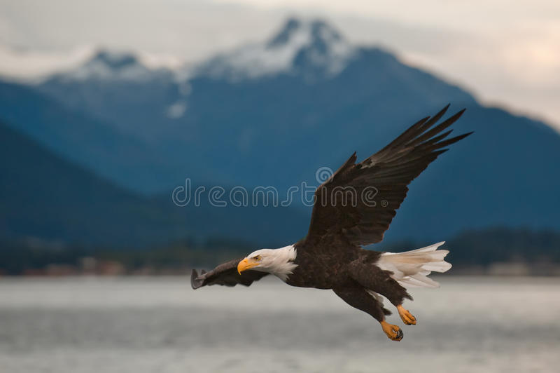 Skalliga Eagle På Inställning Fotografering för Bildbyråer