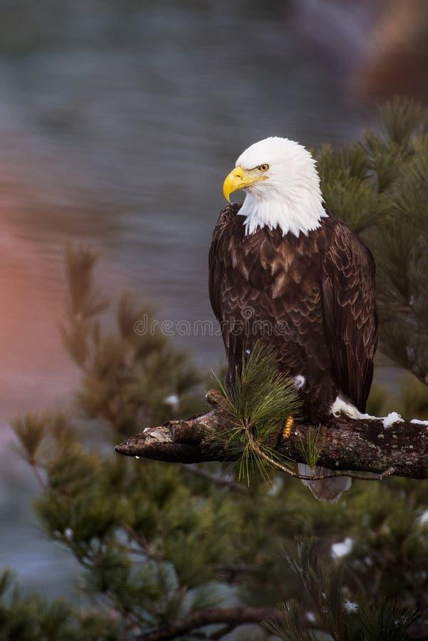 Skalliga Eagle på svultit vaggar delstatsparken fotografering för bildbyråer