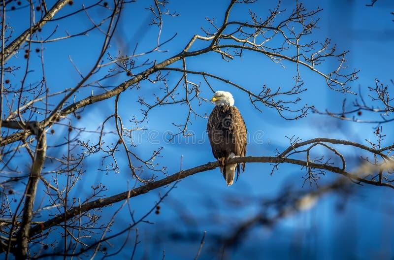 Skalliga Eagle sätta sig i ett träd med blå himmel royaltyfria bilder