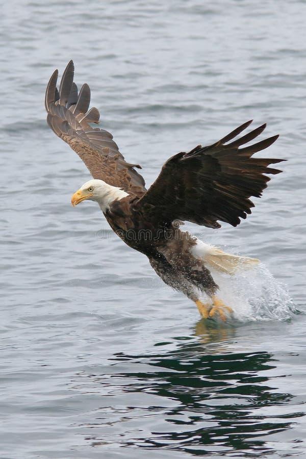 Skalliga Eagle som i flykten fångar fisken royaltyfri bild