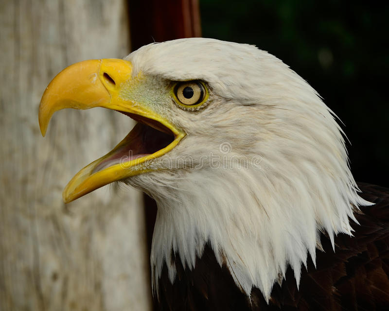 Skalliga Eagle Squaking arkivfoto