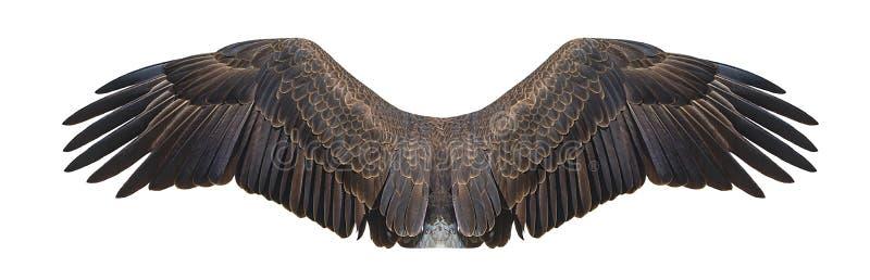 Skalliga Eagle Wings Isolated On White arkivfoto