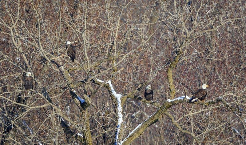 Skalliga Eagles på trädet på nationalparken royaltyfri bild