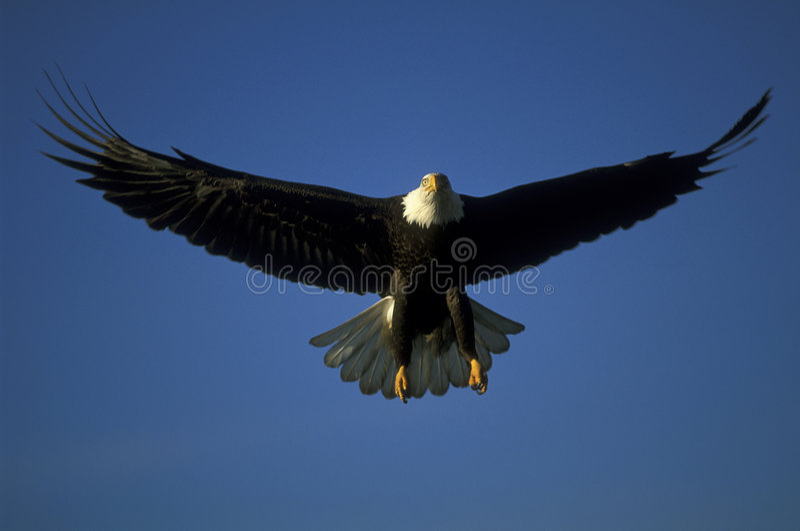 skalligt örnflyg royaltyfria bilder