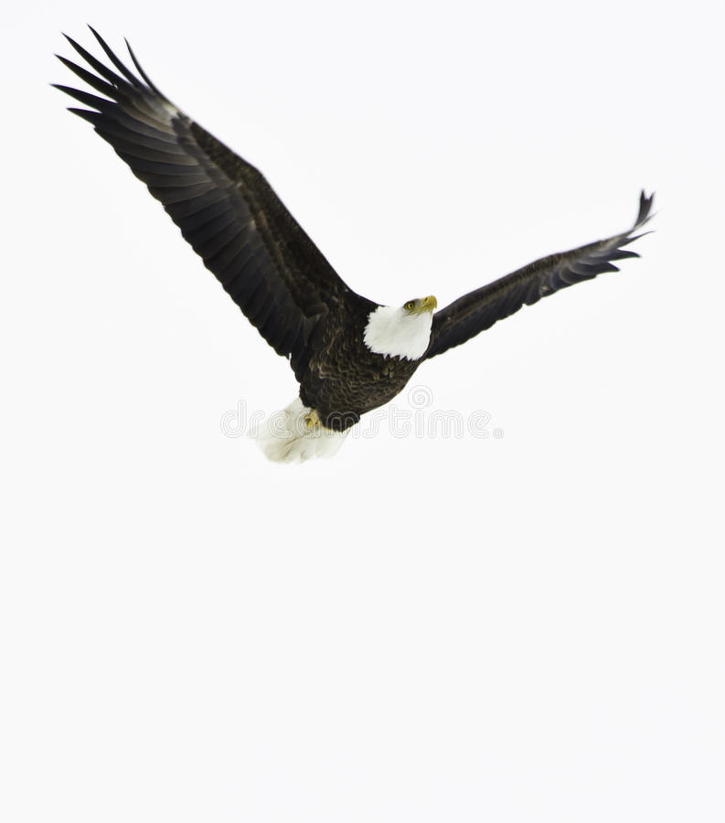 skalligt örnflyg arkivbilder