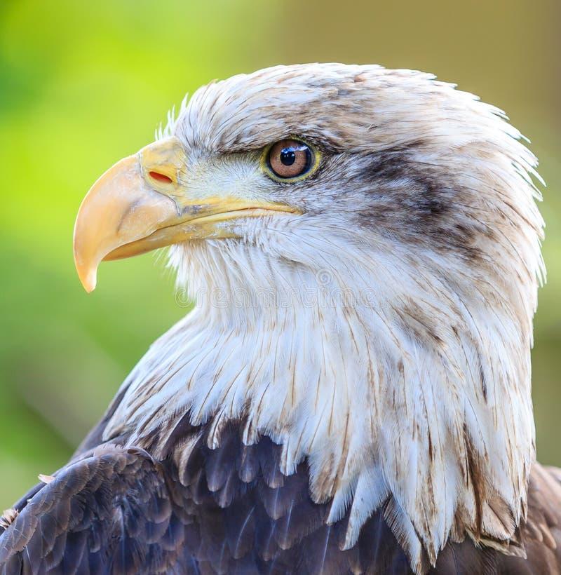 Skalligt Eagle Head slut upp royaltyfria foton