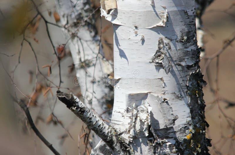 Skalning av björkskället från härlig vit kanadensisk björk arkivfoton