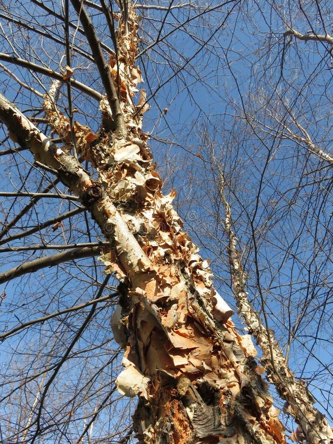 Skalning av skället och av kala träd royaltyfria foton