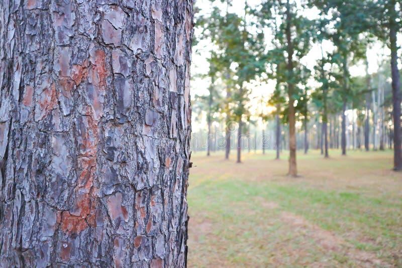 Skalträdet eller trädskället eller sörjer trädet arkivbilder