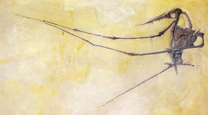 Skamielina oskrzydlony prehistoryczny gad obrazy royalty free
