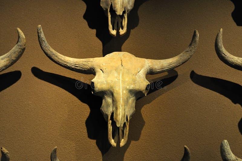 skamieliny czaszka zdjęcie royalty free