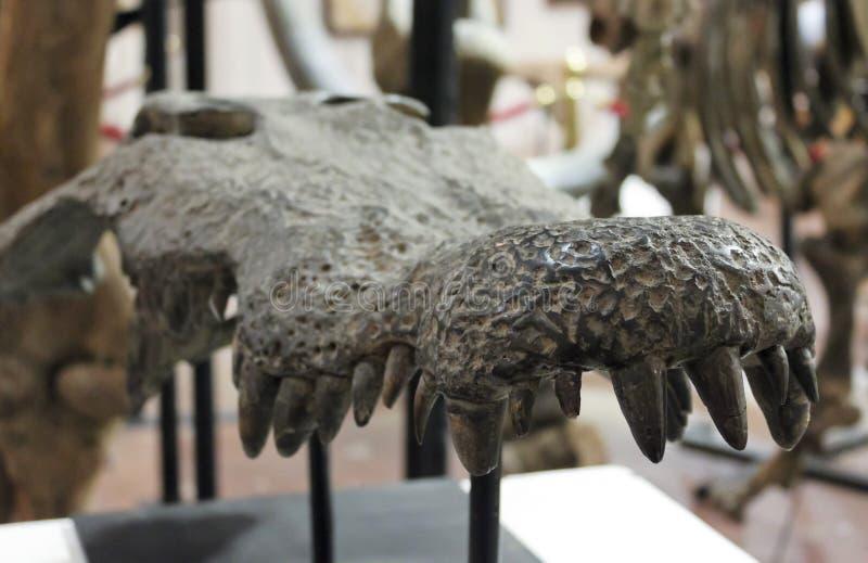 Skamieniała aligator szczęka przy GeoDecor kopalinami & skamielinami obraz stock