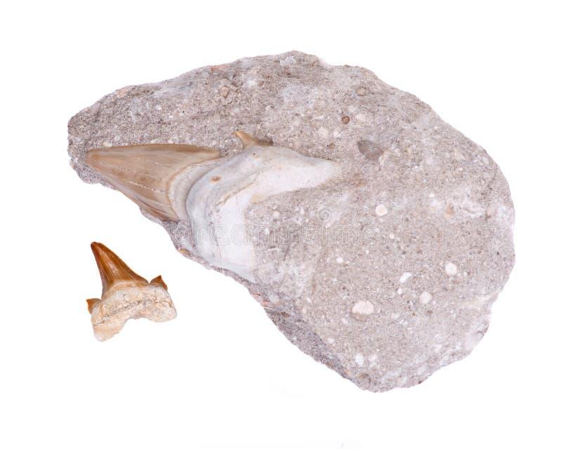 Skamieniały rekinu ząb osadzający w kawałku Mioceński wapień od Wiktoria w Australia i autentycznym fossilized prehistorycznym re obraz royalty free