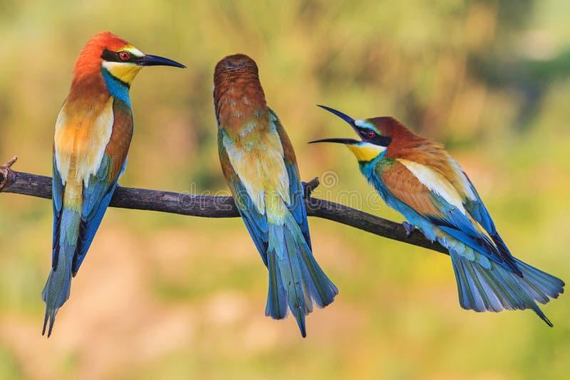 Skandal trzy ptaka siedzi na gałąź zdjęcia stock