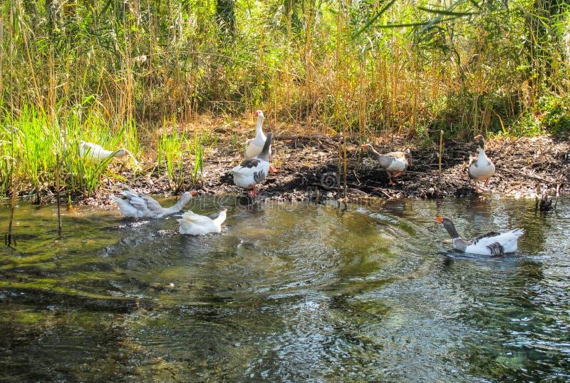 Skandal w firmie kaczki na banku rzeka w słonecznym dniu zdjęcie royalty free