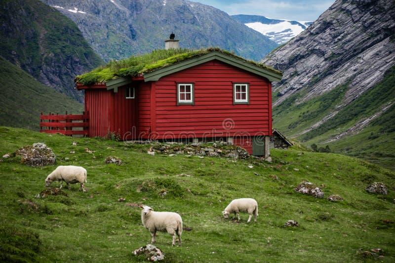 Skandinavisch panorama met het huis van Noorwegen grassroof en sheeps rond het royalty-vrije stock fotografie