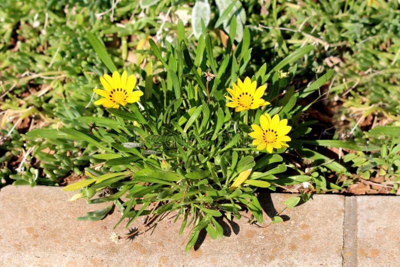 Skarbu kwiat lub Gazania rigens zimnotrwałe odwiecznie rośliny jak z złożonymi kwiat głowami kształtowaliśmy jak mały krzak nastę obrazy royalty free