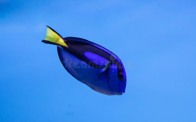 Skarp smak för kungliga blått arkivfoton