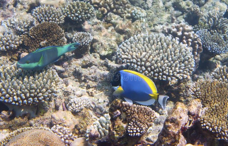 Skarp smak för pulverblått & x28; Acanthurusleucosternon& x29; och parrotfish & x28; scarus & x29; över en korallrev Indiska ocea royaltyfri foto