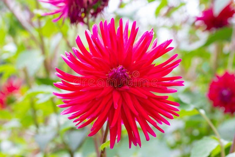 Skarpa och långa kronblad av den storartade röda dahlian blommar fotografering för bildbyråer