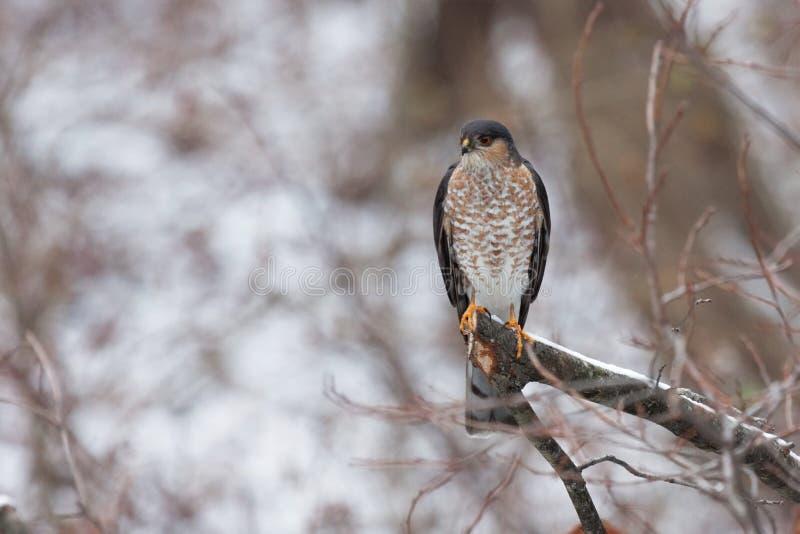 Skarpa shinned Hawk Searching Prey arkivbild