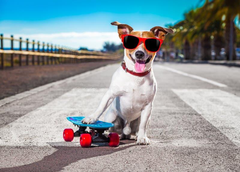 Skateboradåkarehund på skateboarden royaltyfri foto