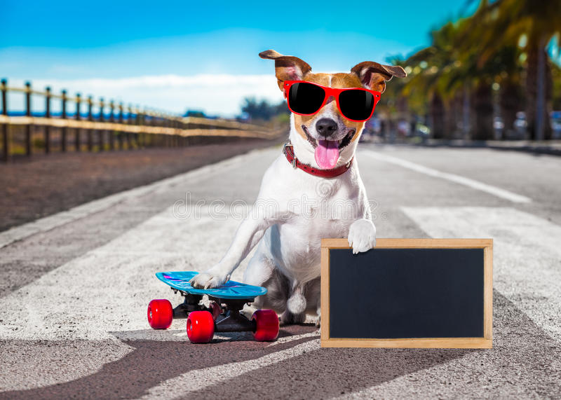 Skater dog on skateboard. Jack russell terrier dog riding a skateboard as a skater , with sunglasses in summer vacation close to the beach, holding a banner or royalty free stock photos
