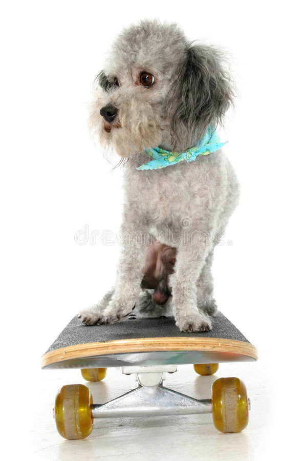 Skater Poodle stock photography