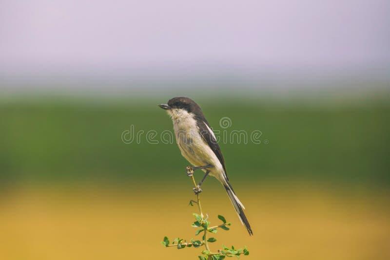 Skatte- törnskatafågel som sätta sig på en filial i nationalpark royaltyfri foto