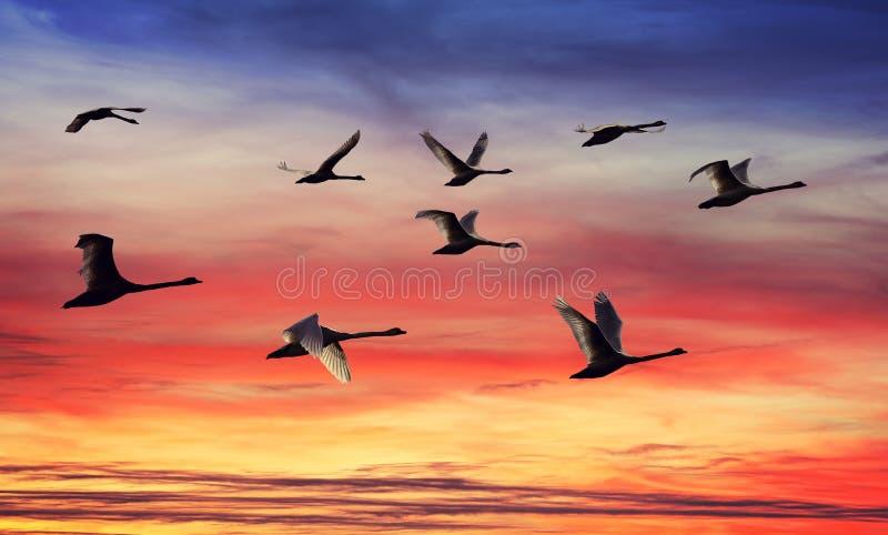 Skein de silhuetas das cisnes no por do sol foto de stock