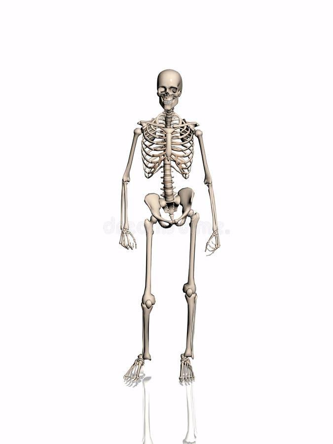Skelet. vector illustratie