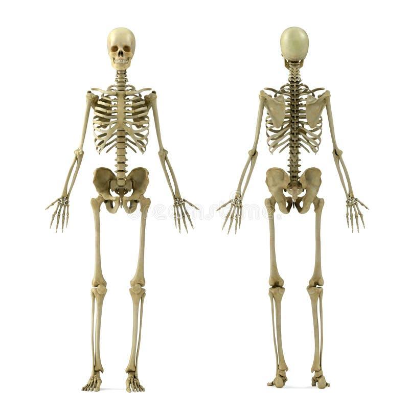 Skelet stock illustratie
