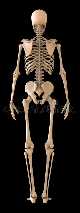 Skelet achtermening Menselijk Skelet op zwarte achtergrond 3D Illustratie vector illustratie