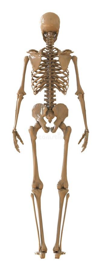 Skelet achtermening Plastic lay-out van het menselijke skelet op witte achtergrond stock illustratie