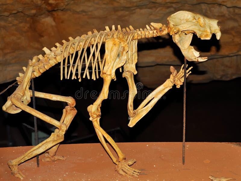 Skelet van een BuidelLeeuw in een hol royalty-vrije stock afbeelding