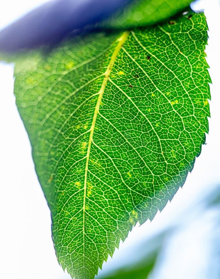 Skelet van een groen blad stock foto's
