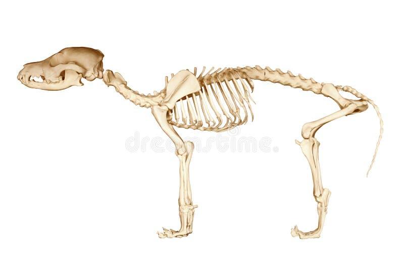 Skelet van hond royalty-vrije stock afbeeldingen