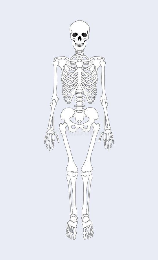 Skelet van Menselijk Lichaams Vectorillustratie royalty-vrije illustratie