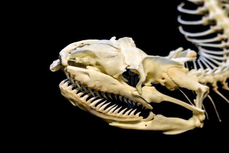 Skelet van slang stock fotografie