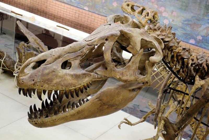 Skelet van Tyrannosaurus rex T -t-rex Schedel en Hals stock foto