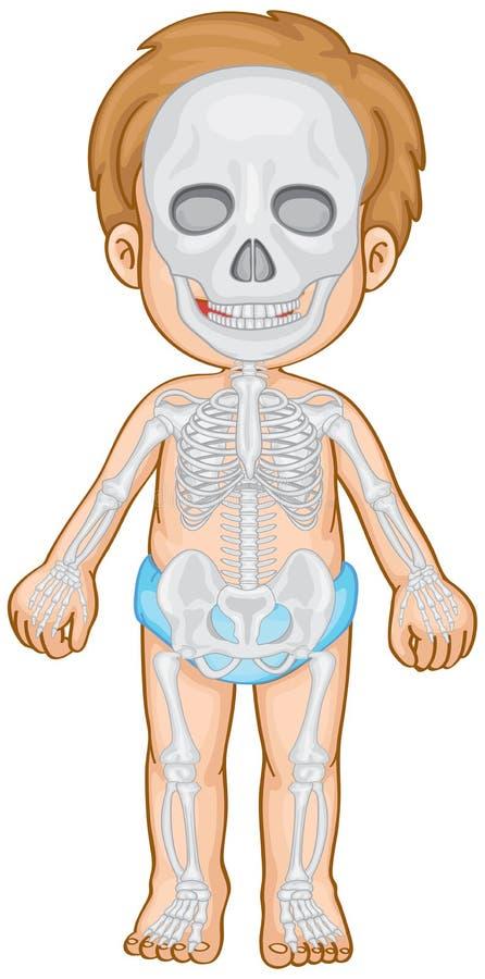 Skeletachtig systeem in menselijke jongen vector illustratie