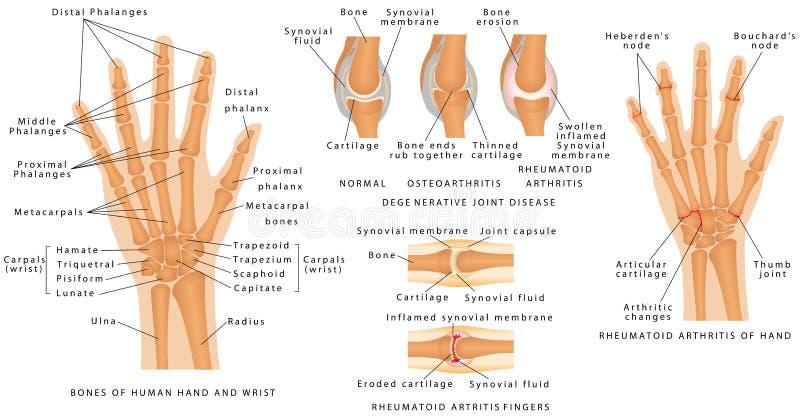 Skeletachtig Systeem Phalanges vector illustratie